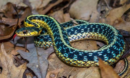 Blue racer snake conservation pdf