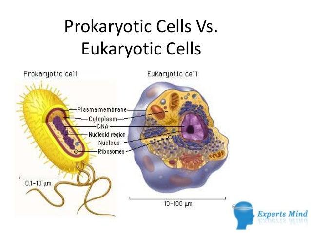 Give an example of prokaryotic and eukaryotic cells