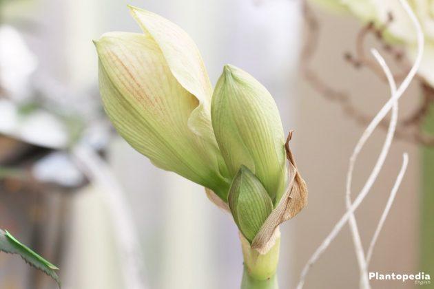 cut amaryllis care instructions